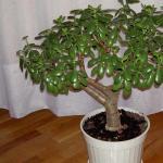 Уход в домашних условиях за крассулой — денежным деревом