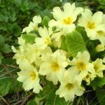 Примула садовая многолетняя: выращивание, посадка, уход