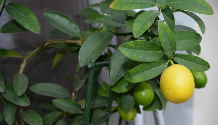 Лимонное дерево Вулкан